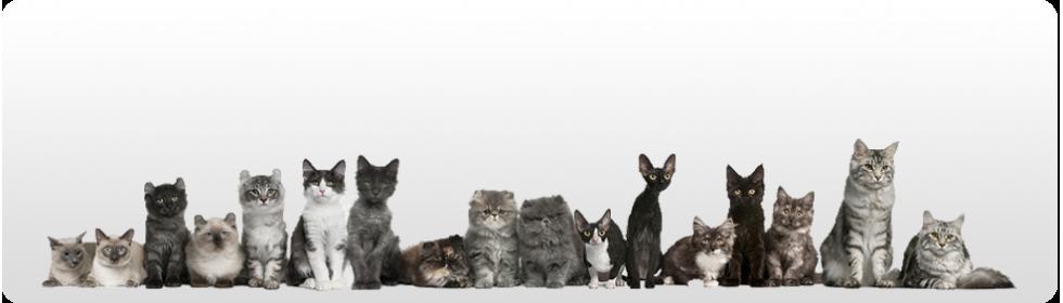 Nu puneti zgarda anti-purici la pisicile mici !